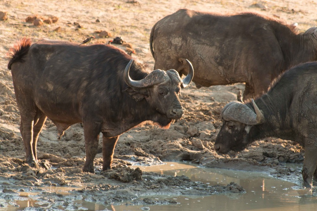 Zuid Afrika-Big Five-safari-buffel-Kruger Park