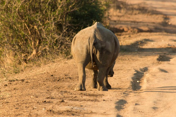 Zuid Afrika-Big Five-safari-neushoorn-Kruger Park