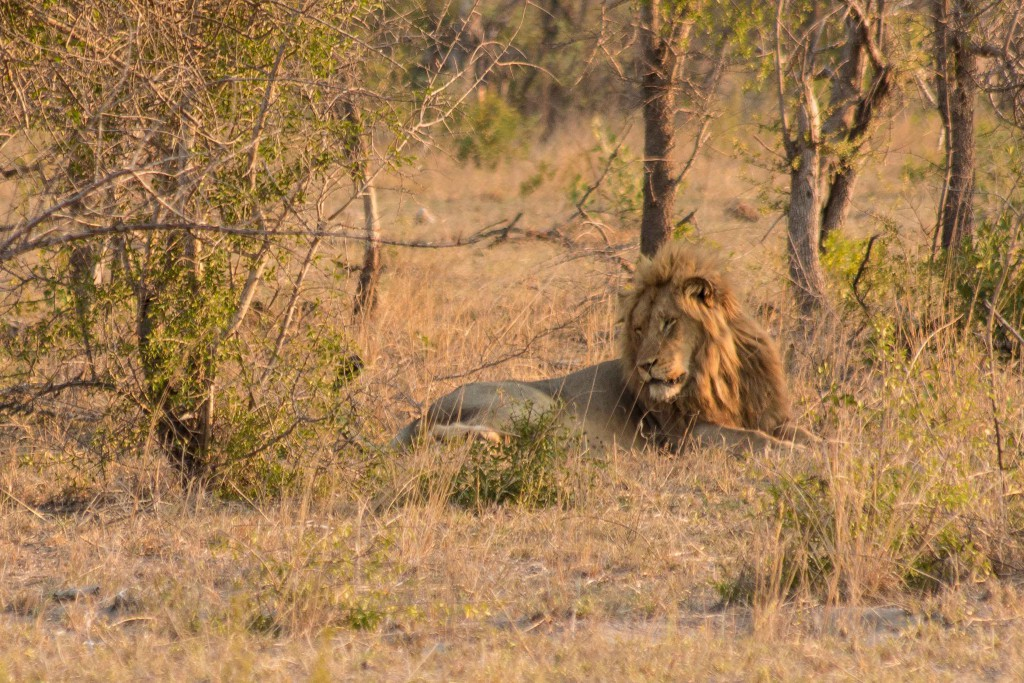 Zuid Afrika-Big Five-safari-leeuw-Kruger Park
