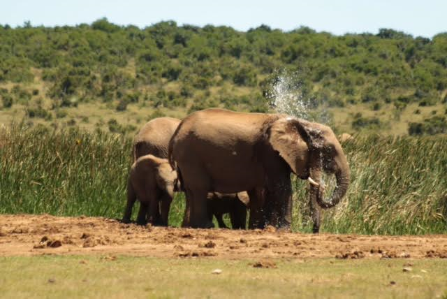 Zuid Afrika-olifant-Addo Elephant National Park-safari